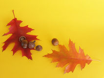 Autumnal oak red leaves with acorns Royalty Free Stock Image
