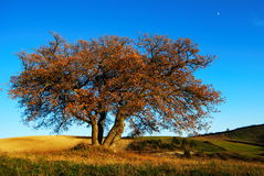 Autumnal oak tree Royalty Free Stock Photos