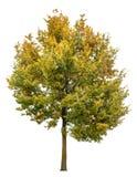 Autumnal oak tree isolated on white background Stock Photography