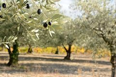 Autumnal olive branch with olive grove and grapevine in the back stock photography
