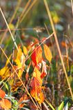Autumnal orange leaves. Growing in bushes and grass royalty free stock photography