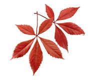 Autumnal ornament, red leaves Stock Images