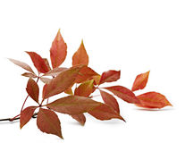 Autumnal ornament, red leaves Royalty Free Stock Photo