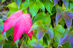 Autumnal painted leaves Stock Photography