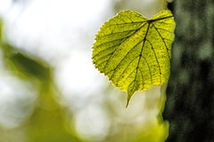 Autumnal painted lime tree leaf in back light. At a bark royalty free stock photography