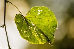 Autumnal painted lime tree leaf in back light. With blurred background stock photos