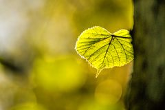 Autumnal painted lime tree leaf in back light. With gree, blurred background stock photo
