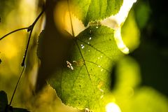 Autumnal painted lime tree leaf in back light. In autumn royalty free stock image