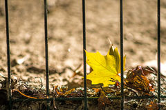 Autumnal painted maple leaf Royalty Free Stock Images