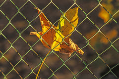Autumnal painted maple leaf Royalty Free Stock Photos