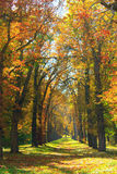 Autumnal park with big trees in yellow colors Royalty Free Stock Image