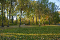 Autumnal poplar forest Stock Photography