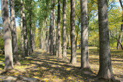 Autumnal poplar forest Royalty Free Stock Photography