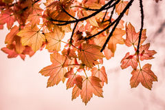 Autumnal Red Royalty Free Stock Images