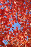 Autumnal red leaves Royalty Free Stock Photos