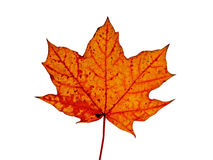 Autumnal red maple leaf. Isolated on white background Royalty Free Stock Photography