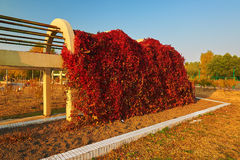 The autumnal red vine. The photo was taken in Sartu district Daqing city Heilongjiang province, China Royalty Free Stock Photography