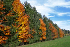 Autumnal row of trees at the edge of the forest Royalty Free Stock Photography