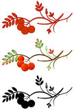 Autumnal rowan twig. Vector illustration of a rowan twig with ashberry in three various color Stock Image
