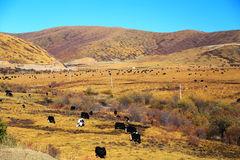 The Autumnal Scenery of Qinghai - Tibet Plateau Royalty Free Stock Photo