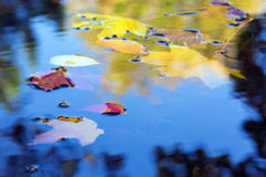 Autumnal Season composition Leaves floating in the Puddle Stock Image