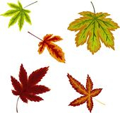 Autumnal set of colorful maple leaves royalty free illustration