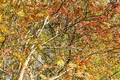 Autumnal Sorbus aucuparia. Autumnal leaves of the Rowan tree, Sorbus aucuparia, also known as Mountain Ash. Speyside in Scotland. 20 October 2018 royalty free stock photography