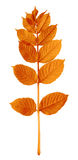 Autumnal sorbus leaves Royalty Free Stock Photos