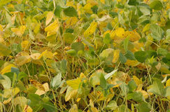 Autumnal Soya Bean Plants Royalty Free Stock Photography