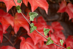 Autumnal sprig with red leafage. Royalty Free Stock Images