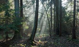 Autumnal stand with mist and sunbeams Royalty Free Stock Photo