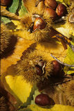 Autumnal still live. With Chestnuts Royalty Free Stock Image