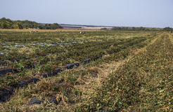 Autumnal strawberry field Stock Images