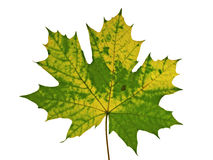 Autumnal  texture of maple leaf Stock Images