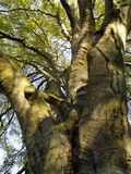 Autumnal tree. Photo of old, autumnal tree Stock Photography
