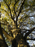 Autumnal tree. Photo of old autumnal tree stock images