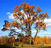 Autumnal tree Stock Photos
