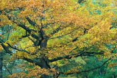 Autumnal tree Stock Image