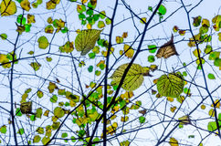 Autumnal tree branches Royalty Free Stock Photo