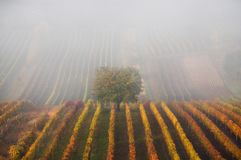 Autumnal Tree In Fog. Autumn Landscape With Autumn Tree, Fog And Multi-Colored Rows Of Vineyards. Rows Of Vineyard Grape Vines. stock images