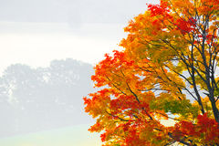 Autumnal tree Royalty Free Stock Photo