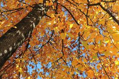 Autumnal tree with yellow leaves Stock Photos