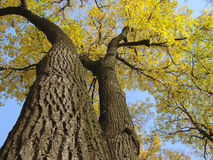 Autumnal trees 1. Autumnal trees fragment with bright yellow leaves Stock Photos