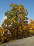 Autumnal trees. Scenic view of Autumnal colored trees with road in foreground Stock Photography