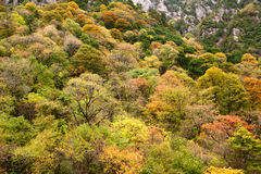 Autumnal trees. Colorful autumn trees in mountain Stock Images