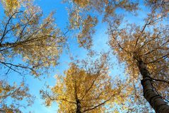 Autumnal trees. View to the tops of tall trees in autumn from a low viewpoint Stock Image