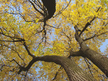 Autumnal trees. Fragment with bright yellow leaves against blue sky Stock Photo