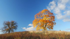 Autumnal trees. Against blue sky background stock video footage
