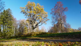 Autumnal trees. Against blue sky background stock footage