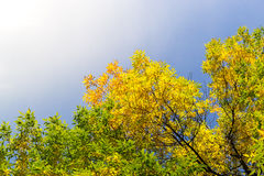 Autumnal Trees and Blue Sky Royalty Free Stock Image